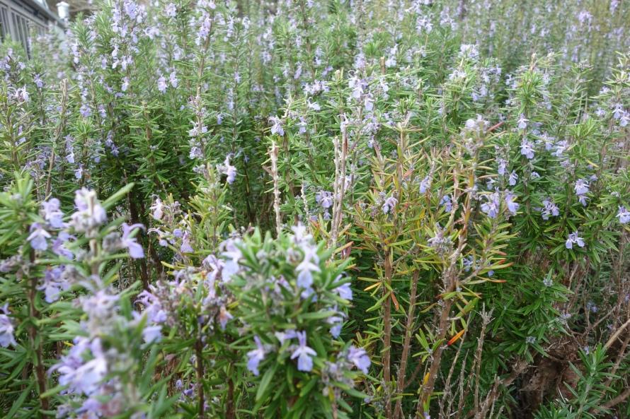 Rosemary fields in Western Australia
