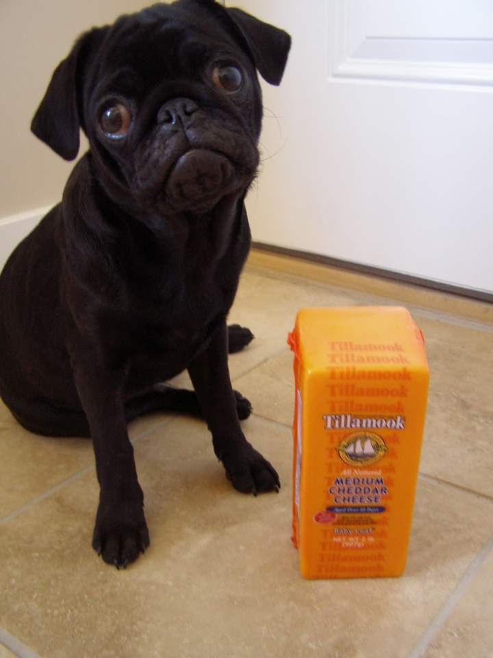 Pug with cheese. Because I can